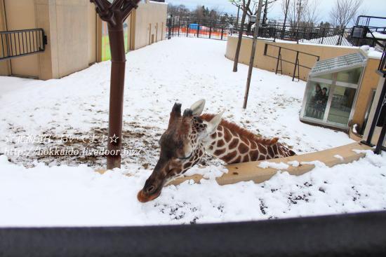 旭山動物園の「きりん舎」