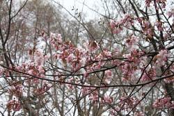 2010年5月8日(土)北海道神宮の桜