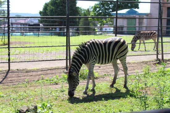 帯広動物園のシマウマ