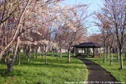 2010年5月2日(日)豊平川桜の杜
