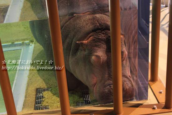 旭山動物園の「かば館」