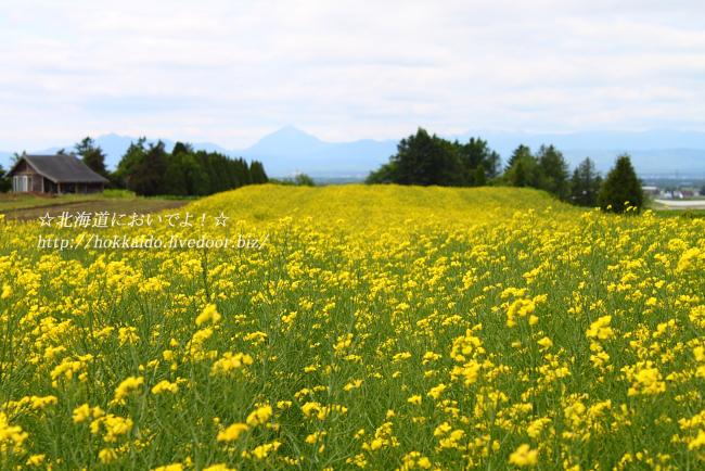 2015年6月7日 花茶の菜の花