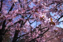 札幌は桜が見頃になりました