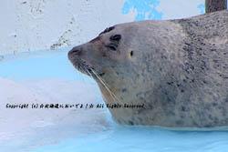 円山動物園のアザラシ