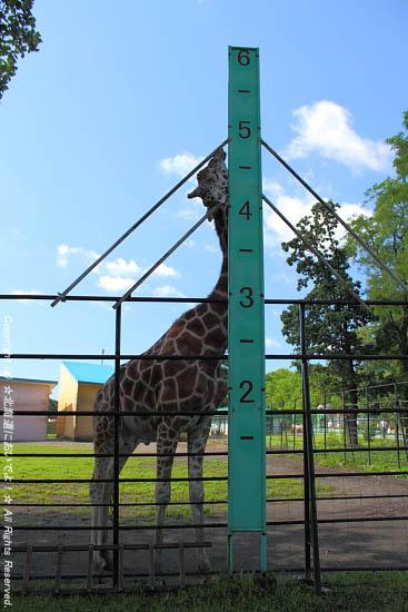 キリンの背丈
