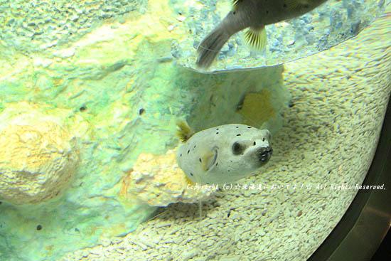 サンピアザ水族館のフグ