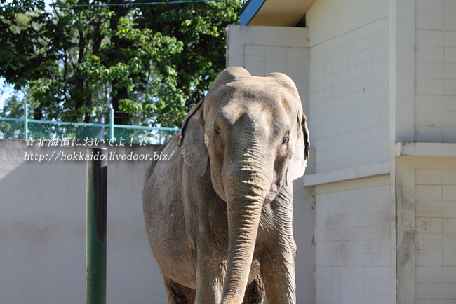 おびひろ動物園の象のなな