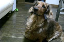 愛犬インディー