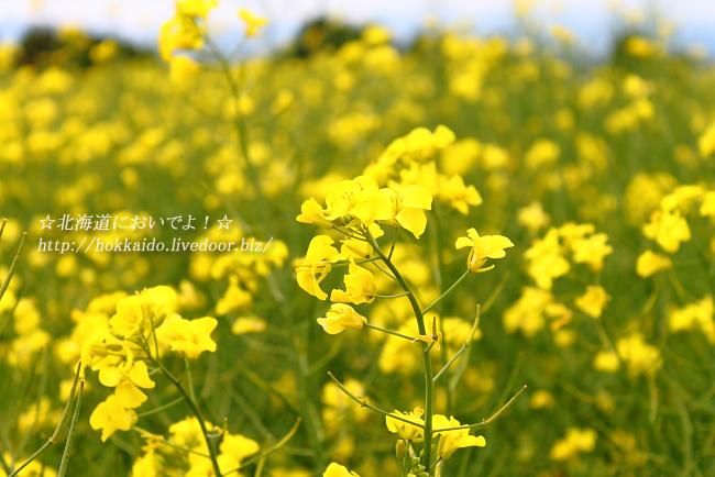 花茶の菜の花畑
