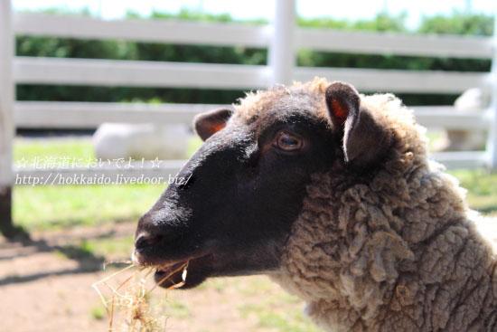 帯広動物園の羊