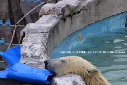 円山動物園のホッキョクグマ 一人遊び