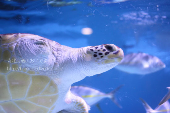 2007年に保護されたウミガメの太郎
