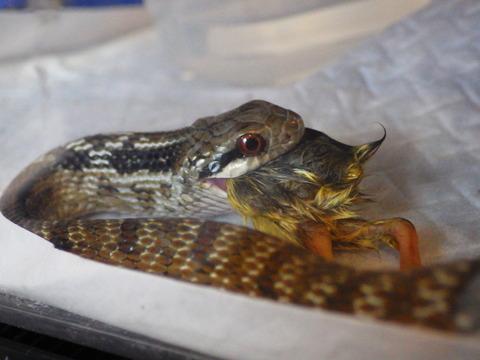 シマヘビの画像 p1_12