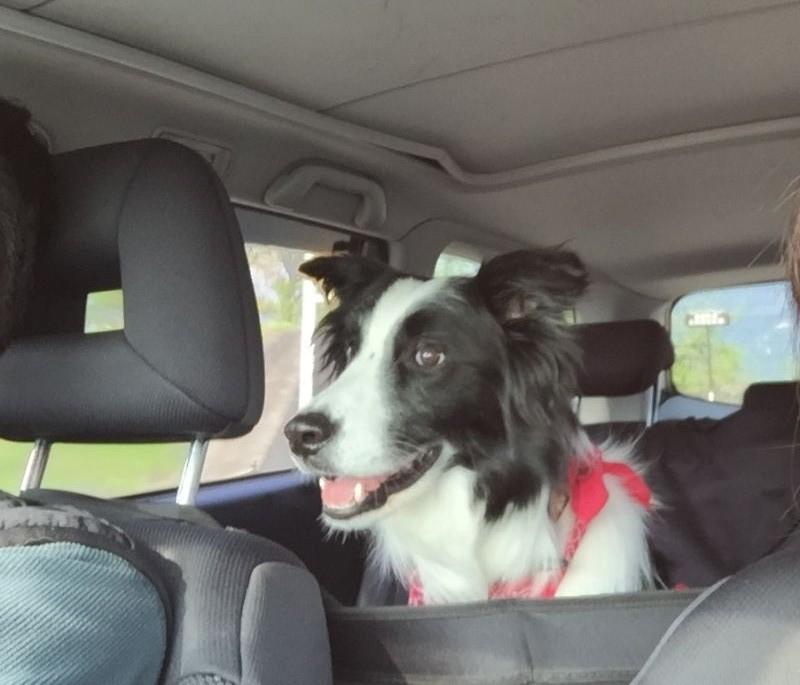 Resultado de imagen para border collie  犬  車で旅行する