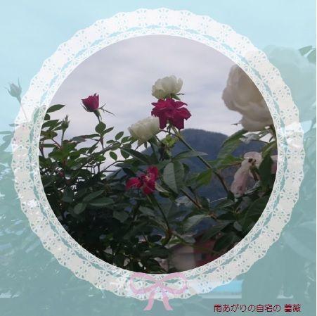秋のバラ 自宅