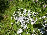 s-白い花