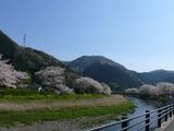s-14:44那賀川と桜並木