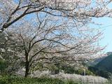 s-14:45松崎の桜