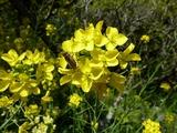 s-菜の花とハチ