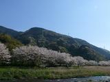 s-14:43那賀川と桜並木