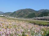 s-14:56花畑と桜並木