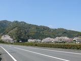 s-13:36414号線桜並木