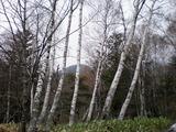 48白樺林