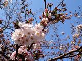 20140328_sakura-640x480