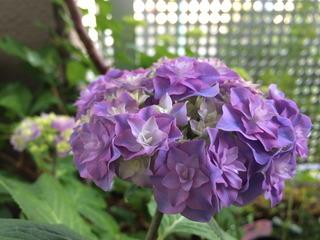 紫陽花さいた