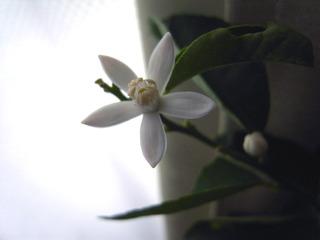 ライムの花