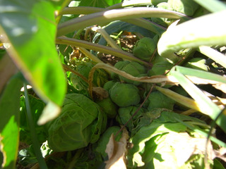 芽キャベツも大きくなりました