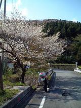 桜の木の下で BAJA