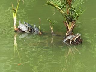 池では亀の甲羅干し