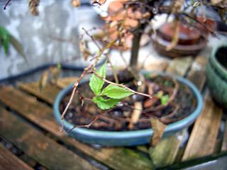 盆栽の生命力