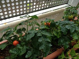 ベランダのミニトマト