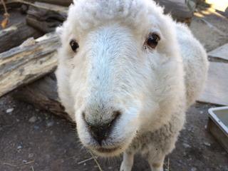羊さんお見送り