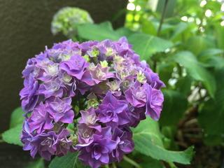 紫陽花開花