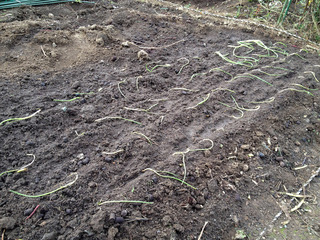 玉ねぎ植えました