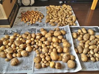 ジャガイモ収穫!