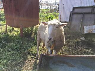 羊がお出迎え