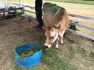 ジャージー牛を見ながら