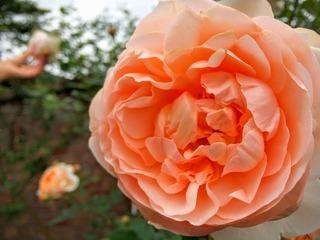 秋バラその1