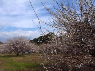 桜はまだかいな