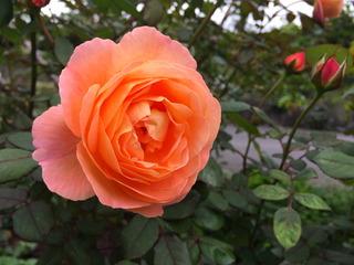秋バラその2