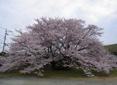2015_神園夫婦桜