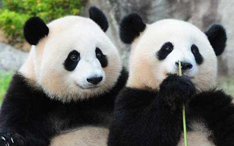 パンダがほぼ笹しか食わなくなった理由ワロタwwww