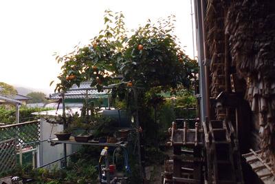 柿と水車小屋