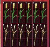 大麦および小麦