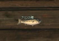 ブリフネ鯉