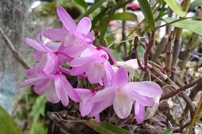 セッコクのピンクの花